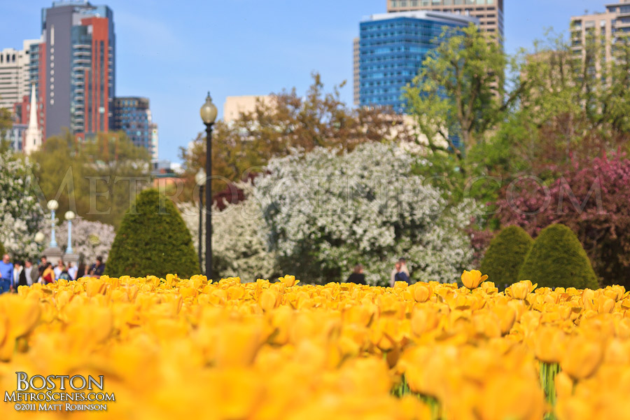 Yellow Tulips blooming in the Public Gardens