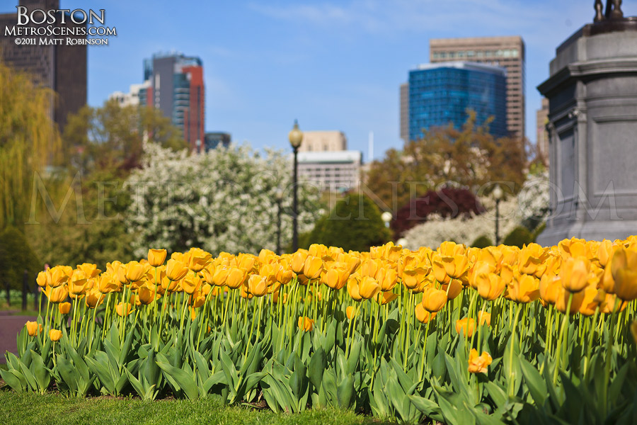 Tulips in the Public Garden