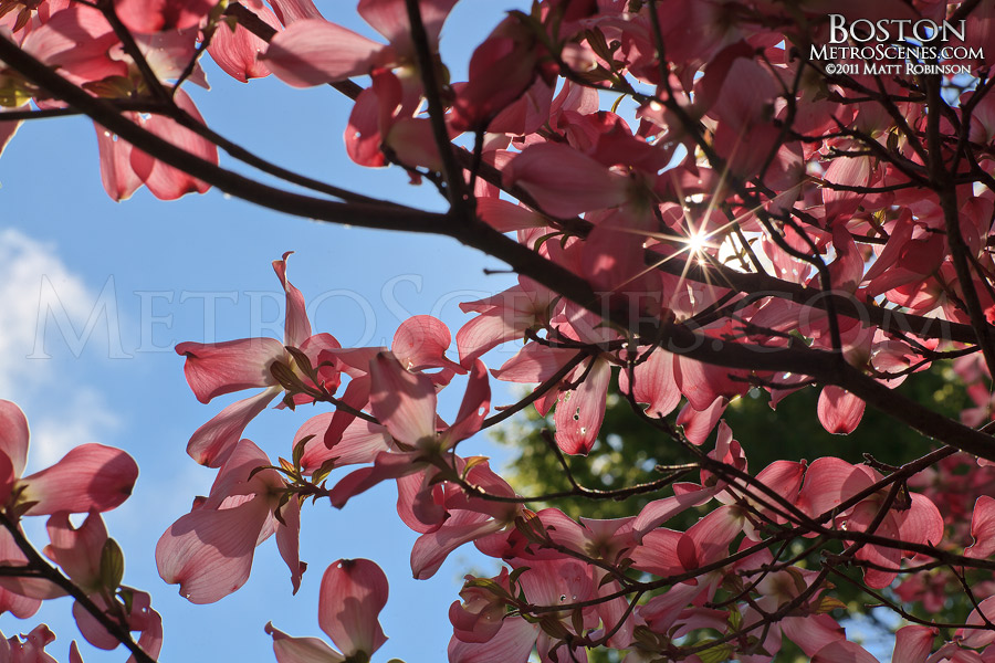 Pink blooms at the Mount Auburn Cemetery