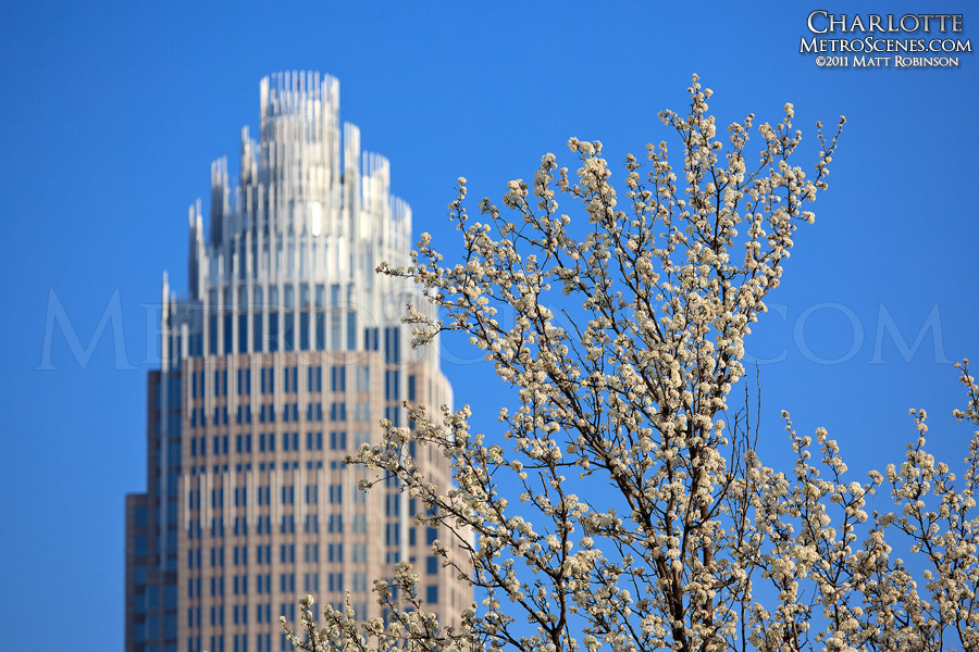 White bradford pear blooms with Bank of America building in Charlotte