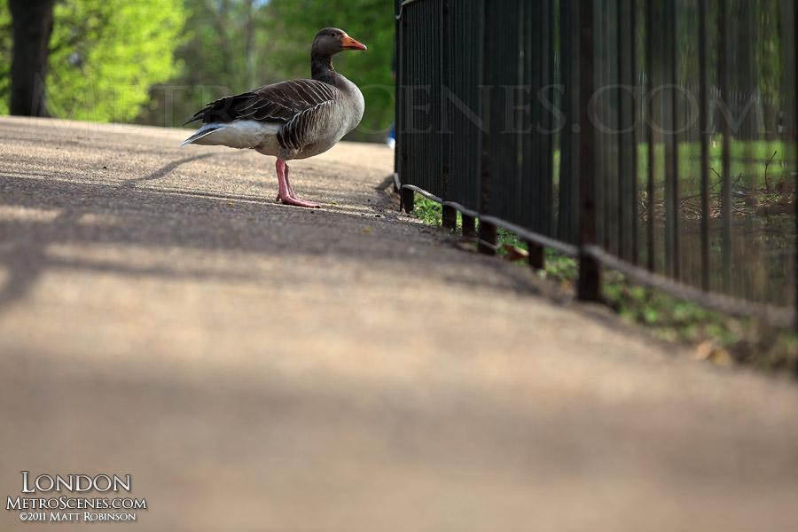 Goose at St. James's Park