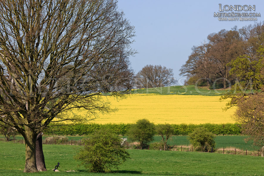 English Countryside with Rapeseed