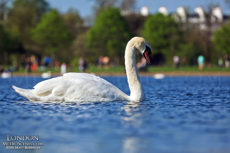 A swan in the Round Pond at Hyde Park