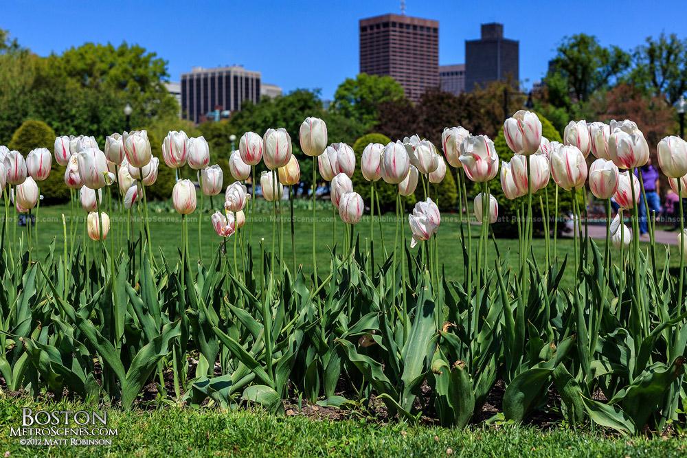 Tulips Bloom in the Boston Public Garden