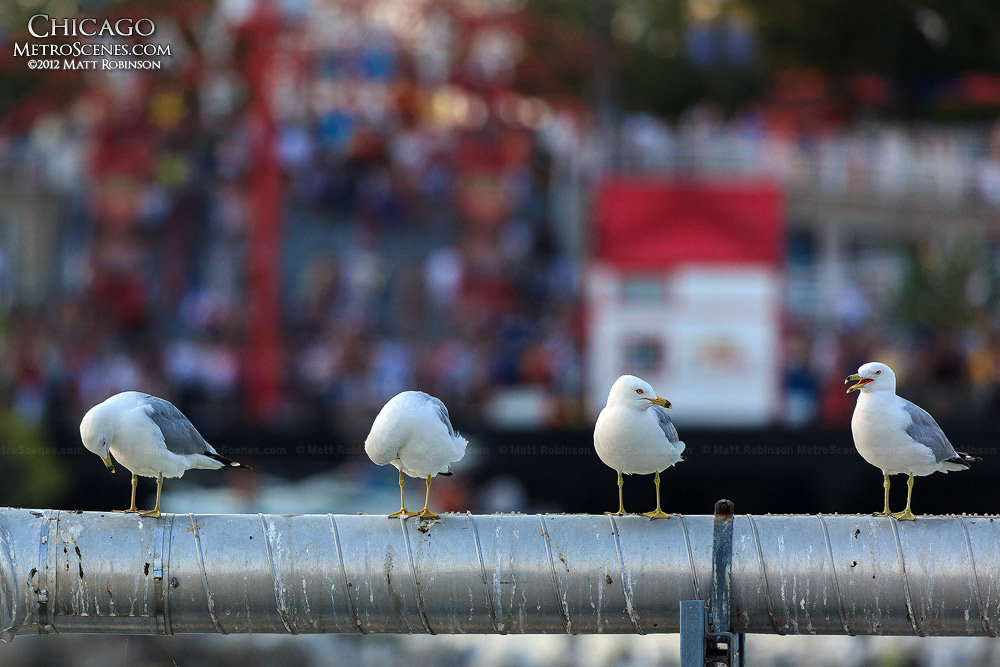 Seagulls gossip at the Chicago Harbor Locks