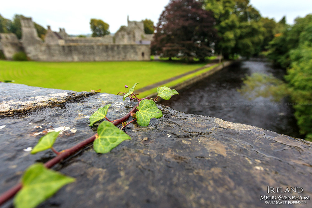 Ivy near the Boyle Abbey