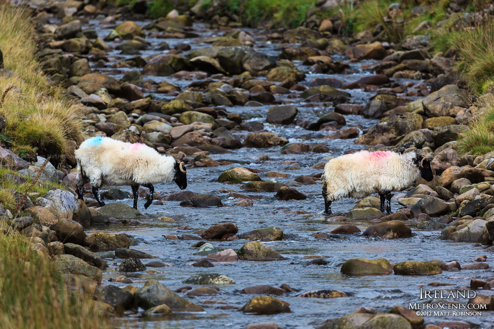 Sheep crossing stream in Ireland