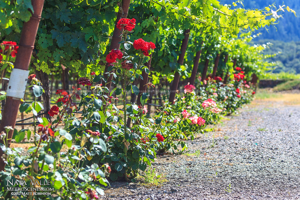 Roses at the end of rows of Grape vineyards