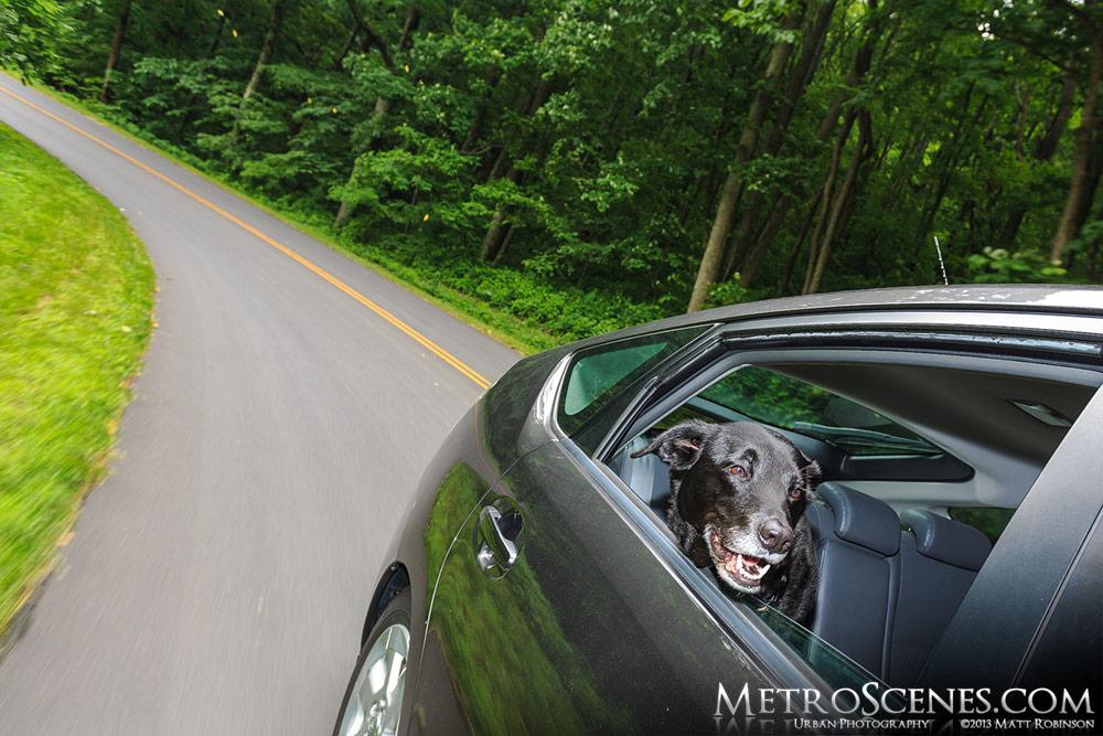Beau enjoys the Blue Ridge Parkway