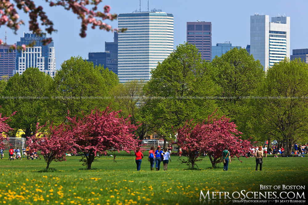 Boston skyline with pink blooms