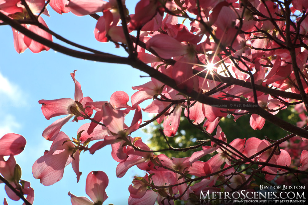 Sun peeks through pink blooms at Mt. Auburn Cemetery