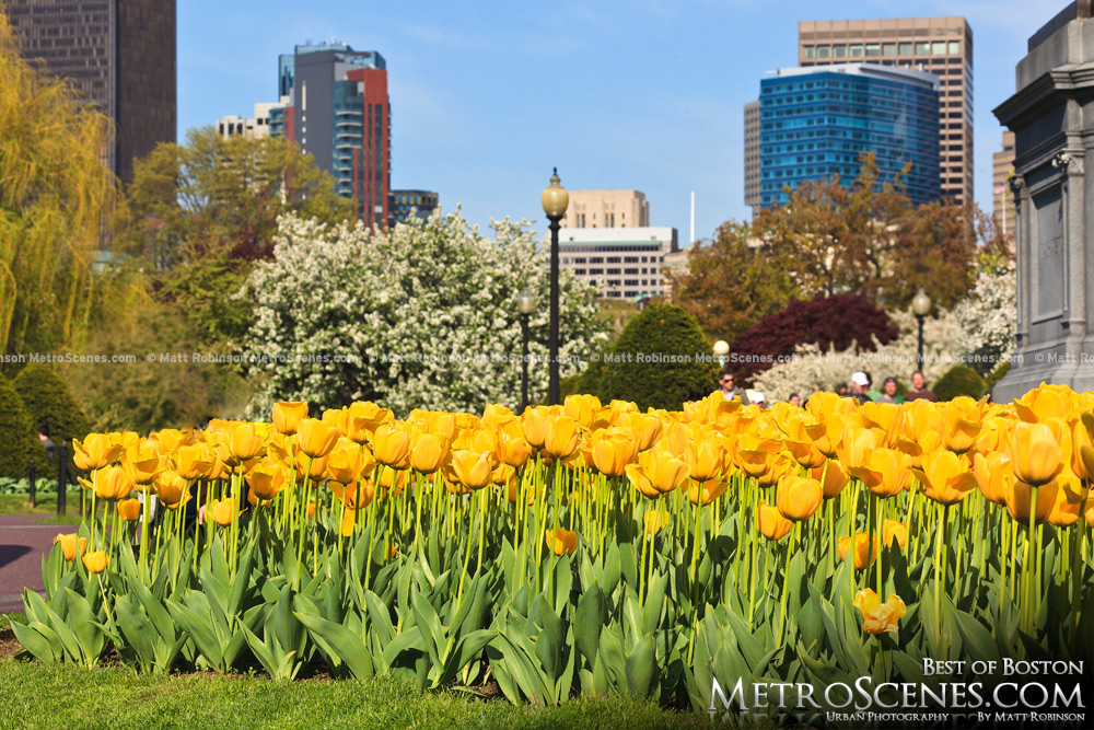 Yellow Tulips blooming in the Public Garden
