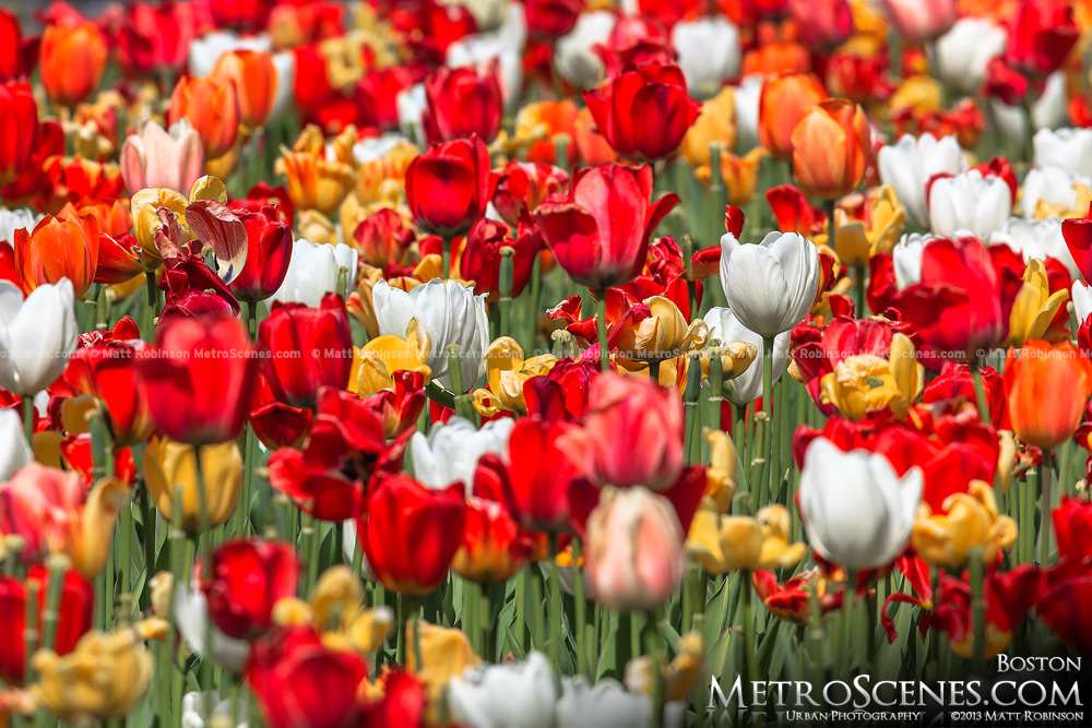 Red, Orange and White Public Garden Tupips