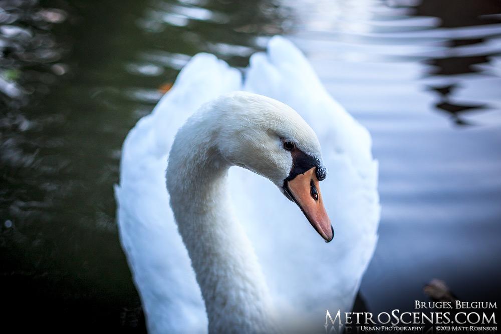 A Bruges Swan