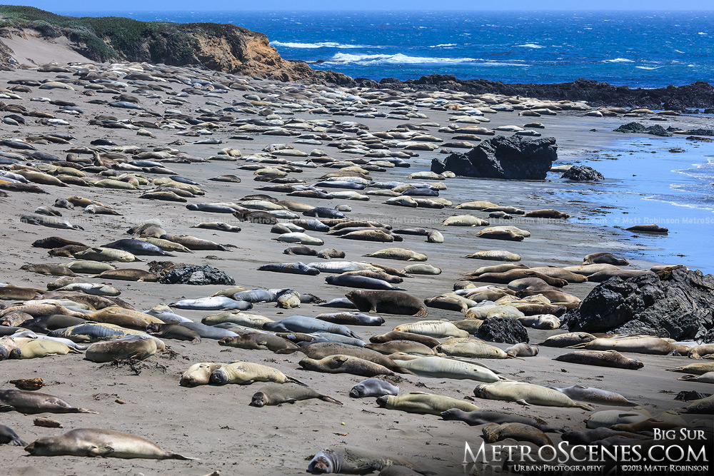 Elephant seals along the Pacific Coast