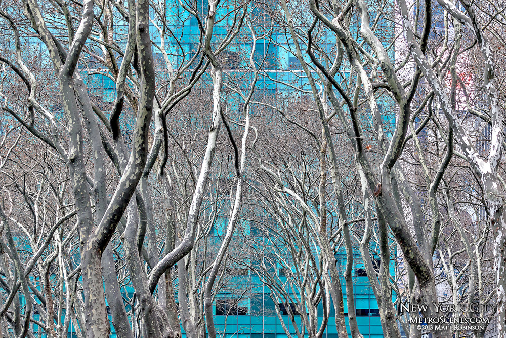 London Plane Trees in Bryant Park
