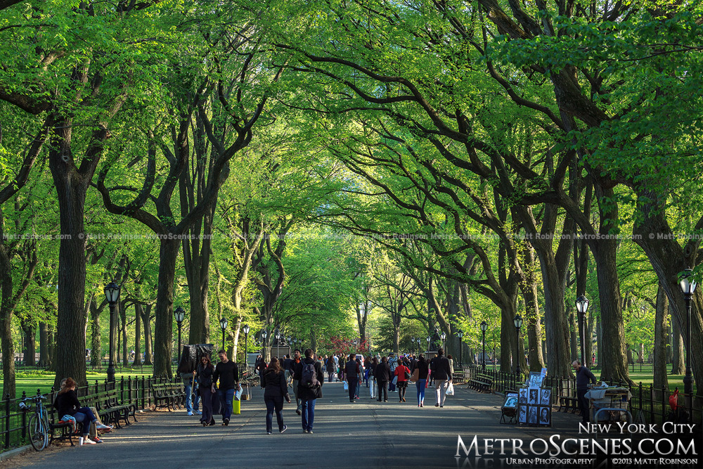 The American Elms of the Central Park Mall