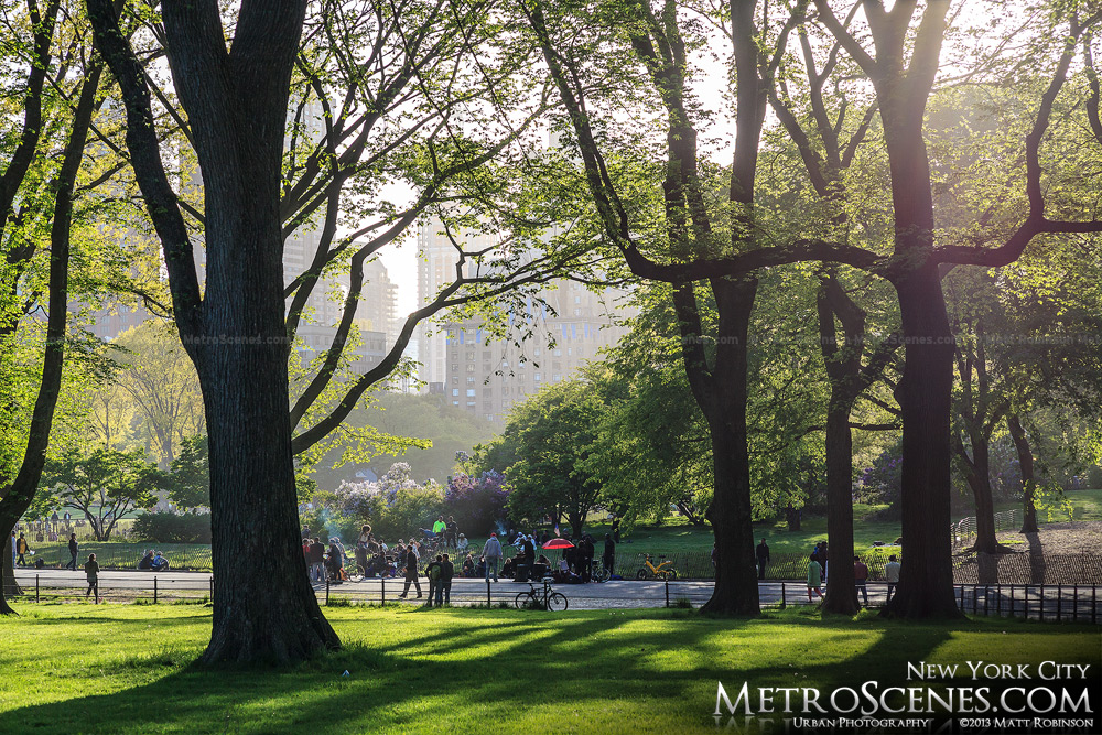 Elm trees in Central Park
