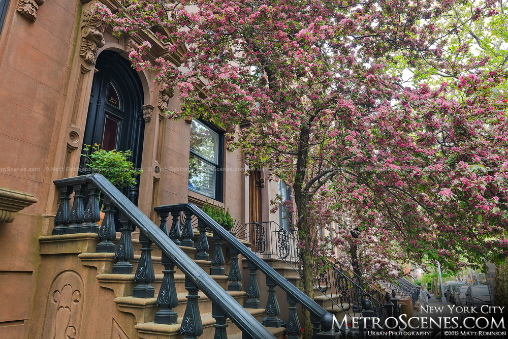 Flower trees bloom in the spring time with Brooklyn stoops