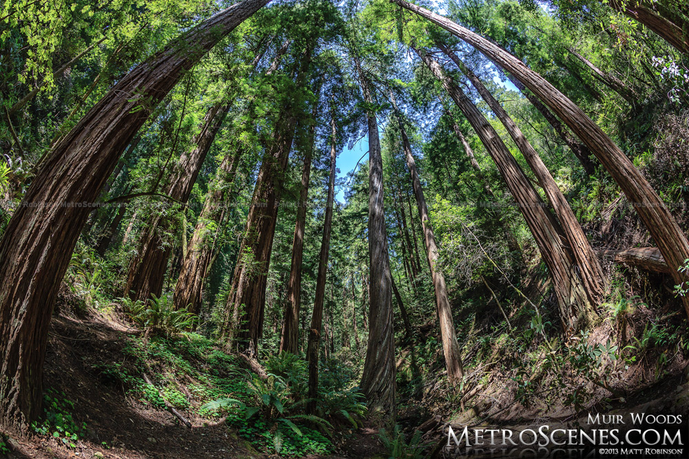 Fisheye of coast redwoods at Muir Woods