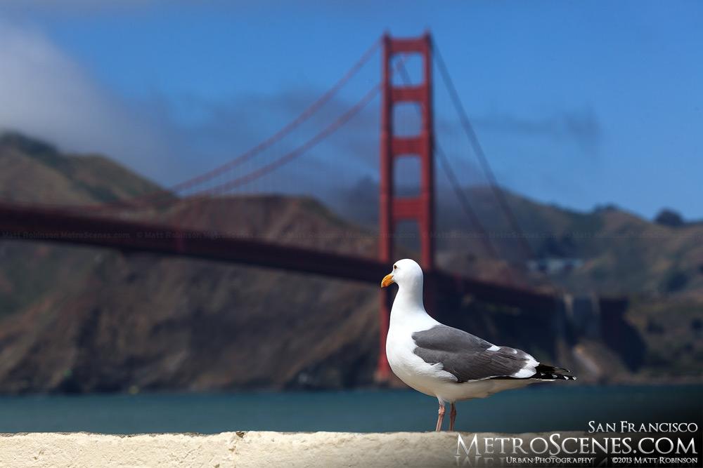 A seagull peeks at the Golden Gate Bridge