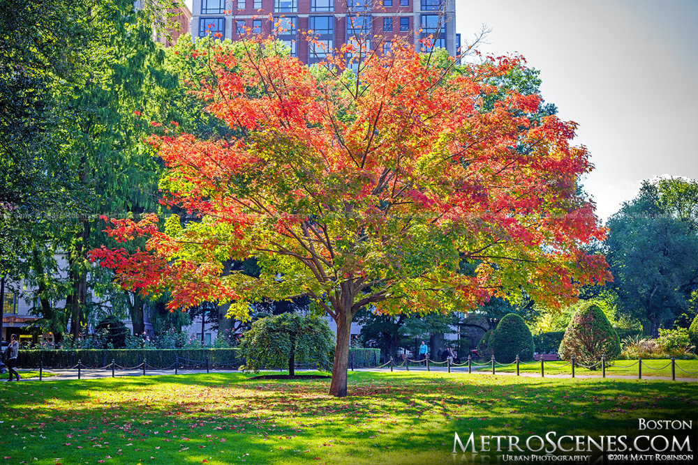 Autumn leaves on a tree in the Boston Public Garden