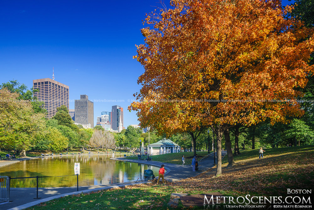 Brilliant Orange tree in the fall with Boston Frog Pond