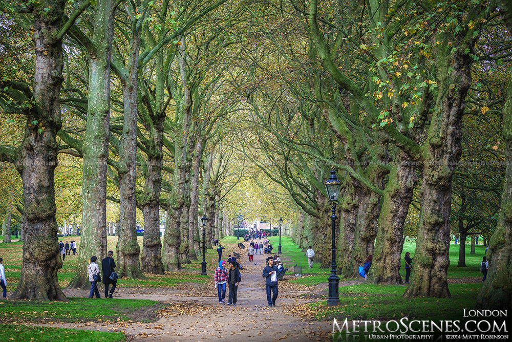 Line of Sycamore trees in London's Green Park