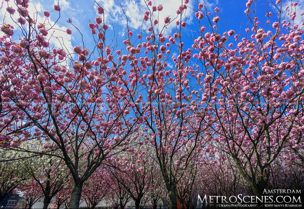 Pink flowering blossom on trees in the Museumplein, Amsterdam