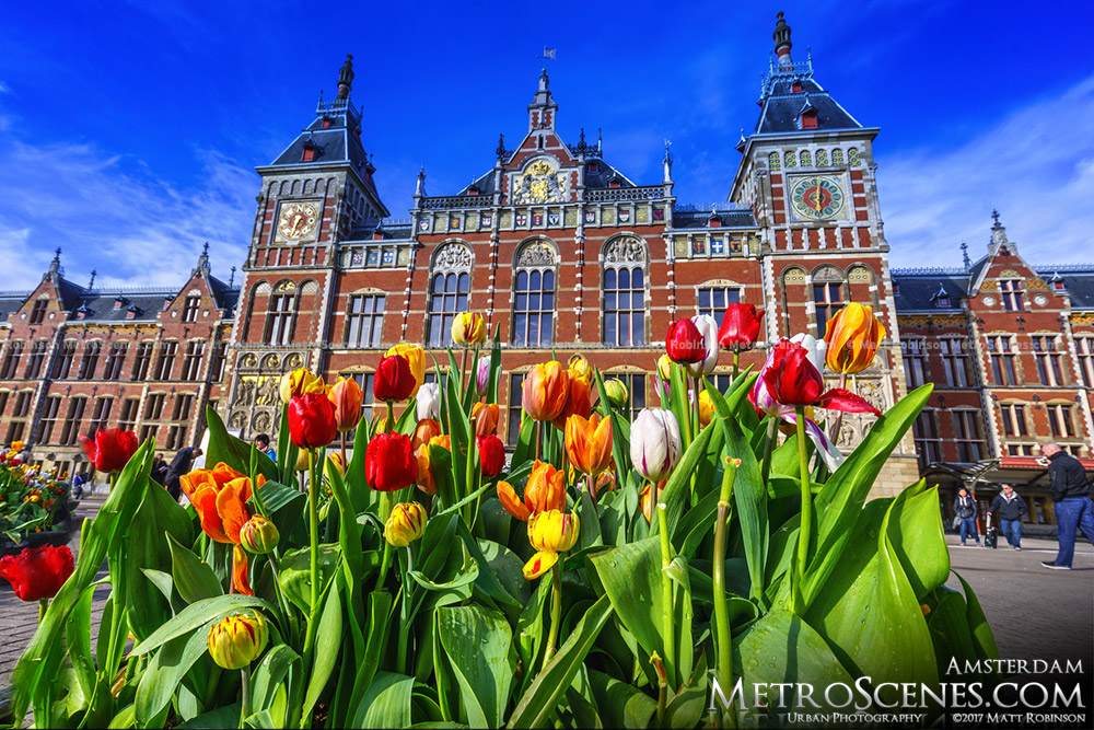 Tulips blooming with Amsterdam Centraal