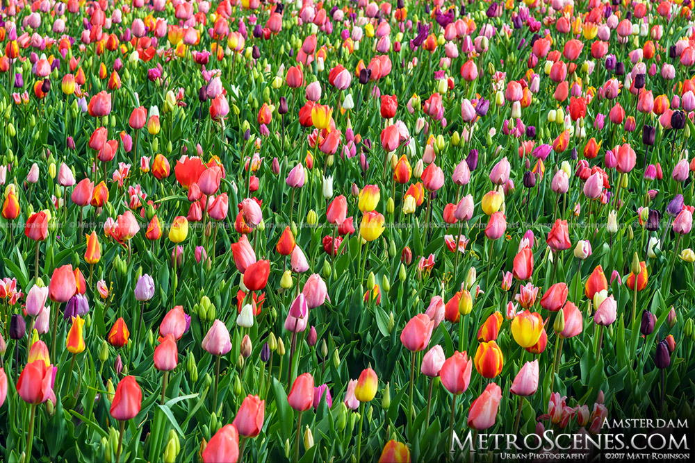 Tulip field at Keukenhof Gardens near Amsterdam