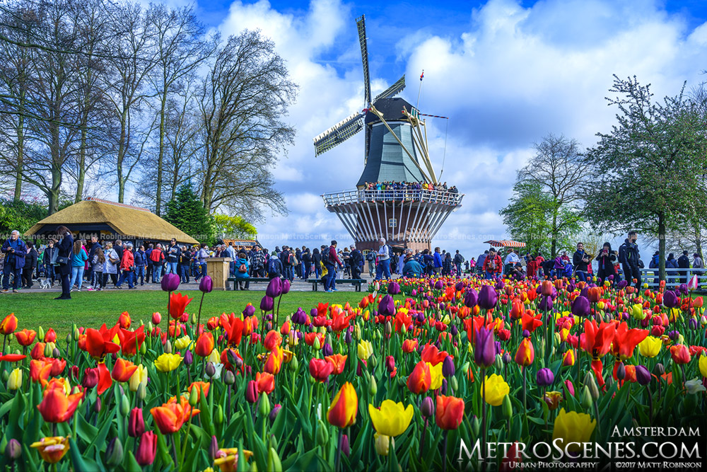 Dutch Windmill at Keukenhof Gardens with Tulips
